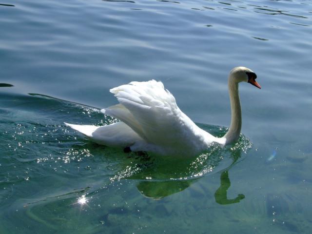 Swan in Luzern