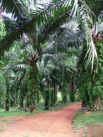 through the palm-plantations