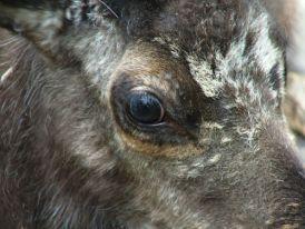 Elk eye