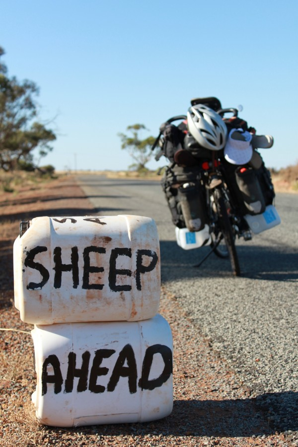 sheep ahead
