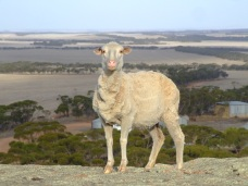 the sheep on the rock