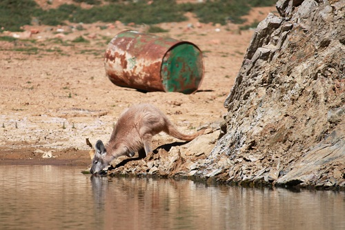 thirsty Roo