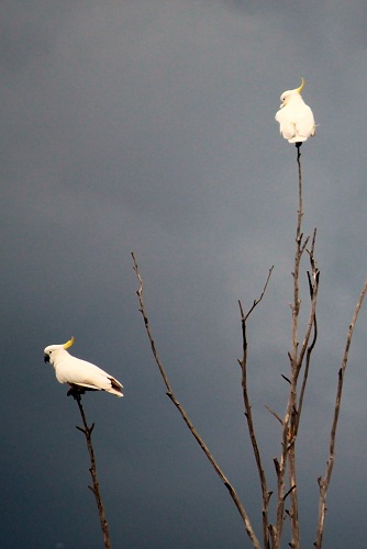 Cockatoo's