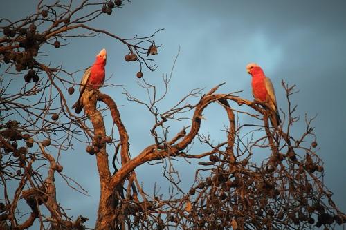 Pink Galahs