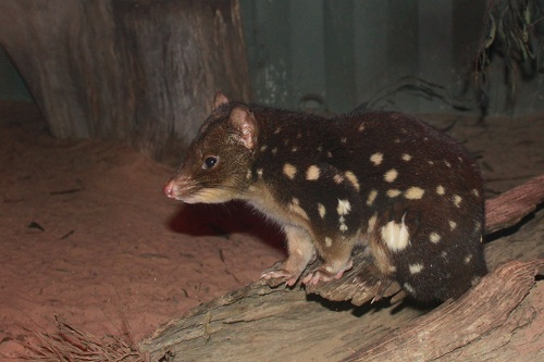 the Spotted Quoll