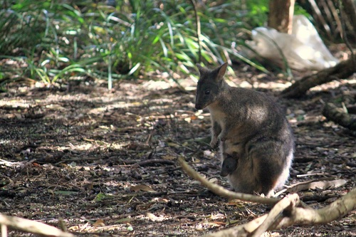 Wallaby mum and kid