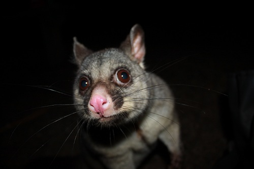 cheeky possum