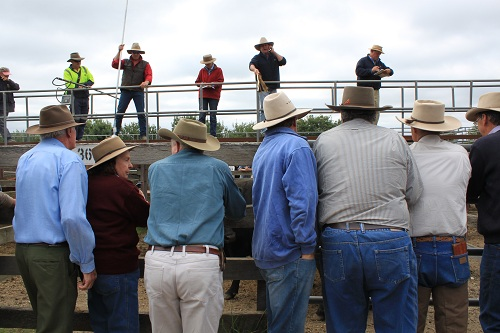 cattle sales in Braidwood