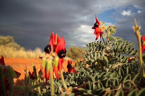 Sturt Desert Pea