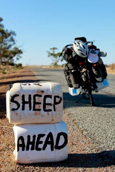 Sheep Ahead