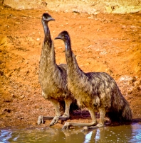 Emu taking a break