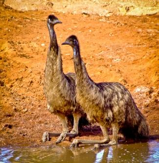 Emu taking a break
