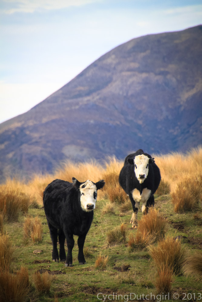 High country Cattle