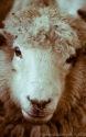 Pretty Sheep