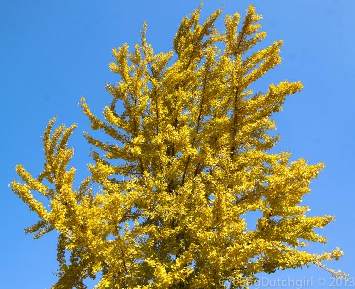 Gingo tree.