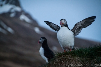 puffin King of the world