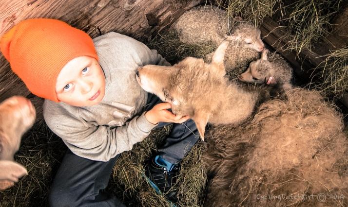 Pall Likes the sheep too