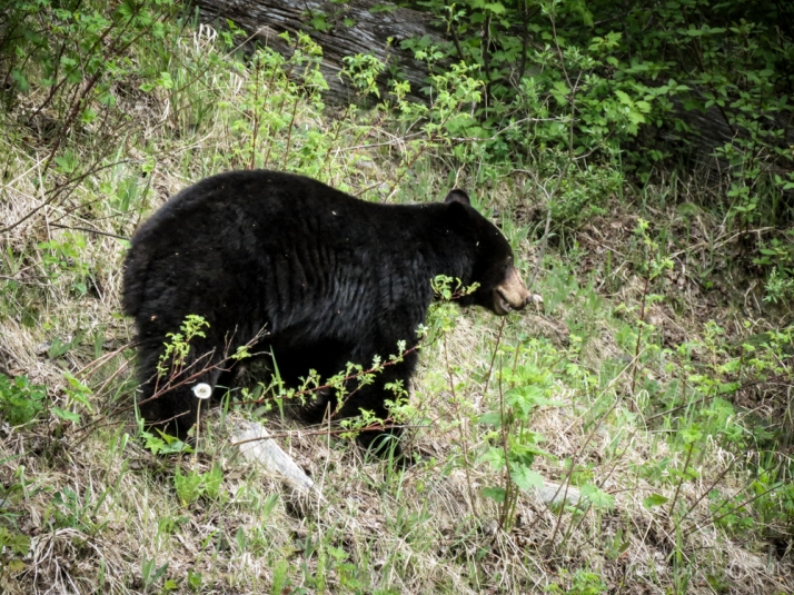 Bear on side of the road