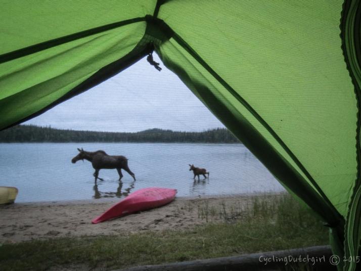 Moose & mini-Moose