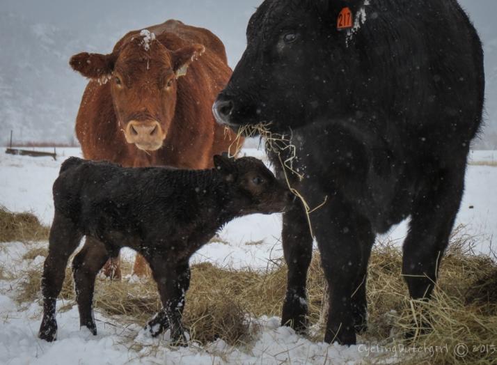 the first calve